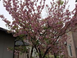 八重桜2016