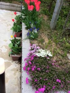花壇芝桜ムスカリチューリップ